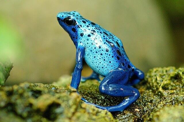 Nibezpieczny gatunek toksycznej żaby