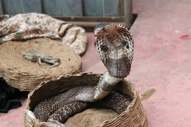 Jadowita i niebezpieczna kobra królewska