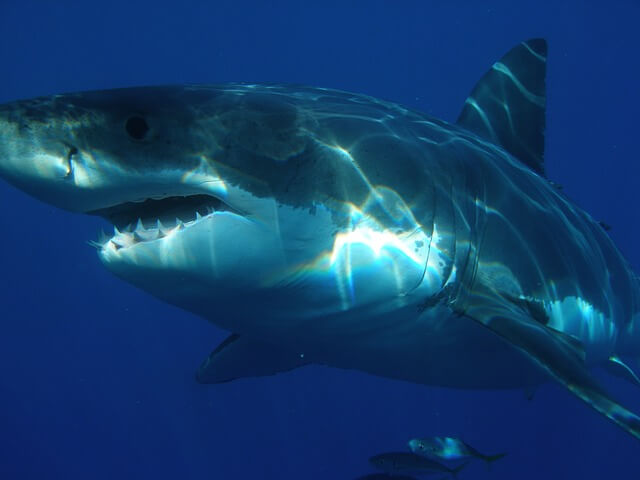Wielki i groźny rekin ludojad