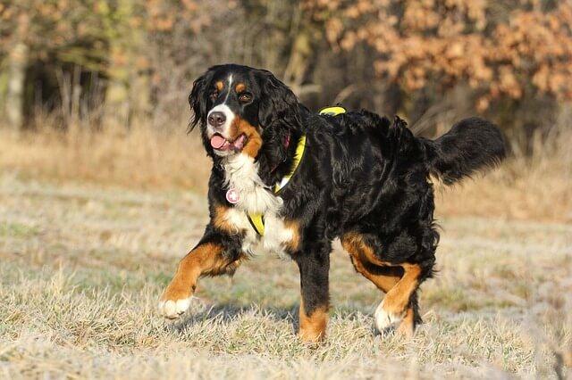Rasowy berneński pies pasterski
