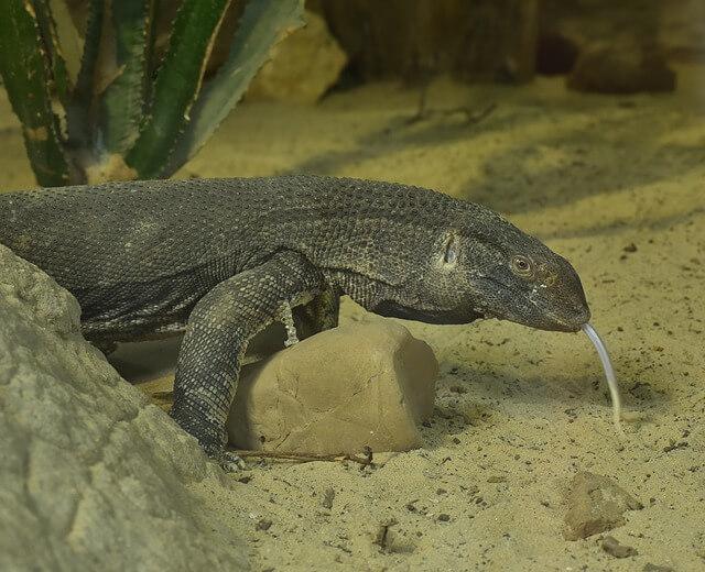 Waran największa jaszczurka na świecie