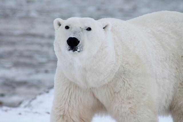 Wielki, piekny i niebezpieczny niedźwiedź polarny