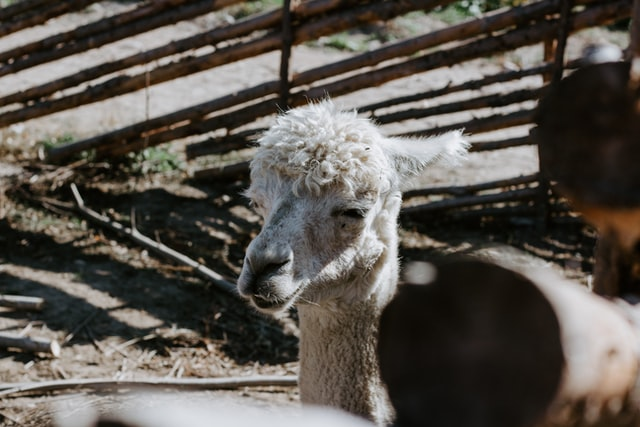 Alpakoterapia – co daje terapia ze zwierzętami? Na co pomaga alpakoterapia?